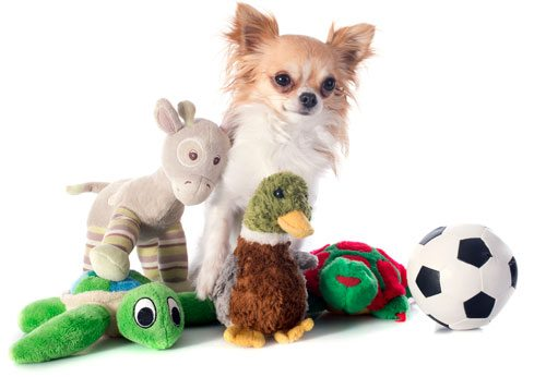 Chihuahua with stuffed toys